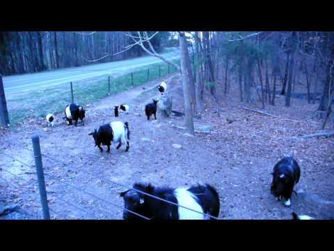 Fearrington Fainting Goats