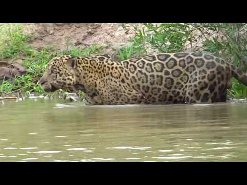 Jaguar Hunts along the River: Capybara Attack and Giant River Otters