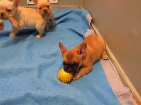 French Bulldog Puppies ~ Oregon French Bulldog Breeders ~ Charlotte Pups