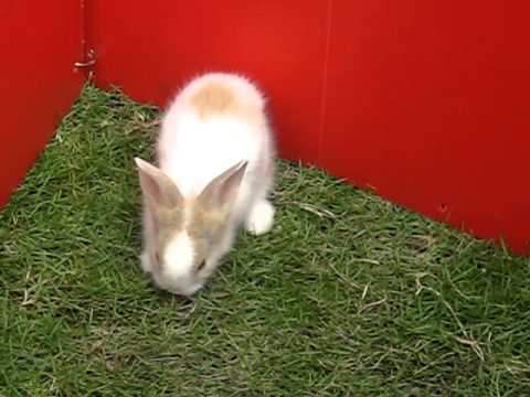 Dutch + Lionhead Bunny For Sale   1 Month, Valentine Bunnies I From Kajang,  Selangor