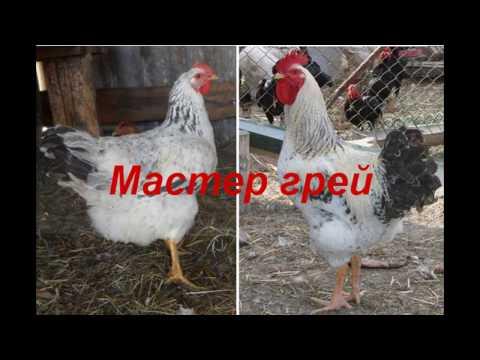 МАСТЕР ГРЕЙ//Характеристика кроссов кур