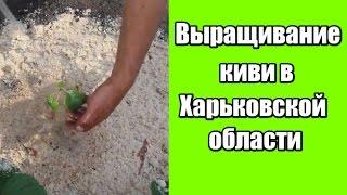 видео Выращивание киви