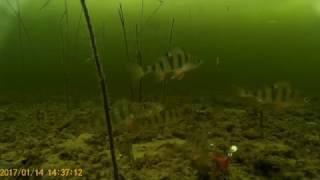 Ловим окуня зимой на черта. Съёмка под водой.