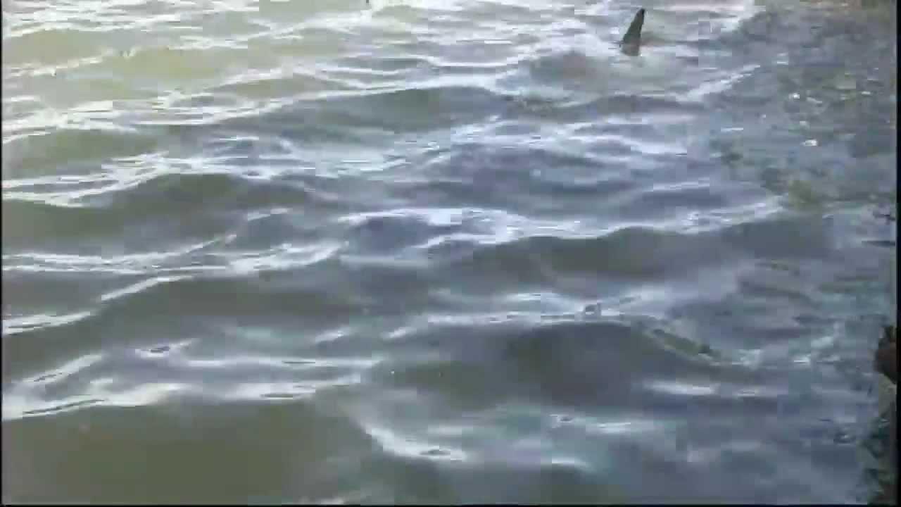 Download SHARKS IN GOLF LAKE: Bull sharks infest golf course lake