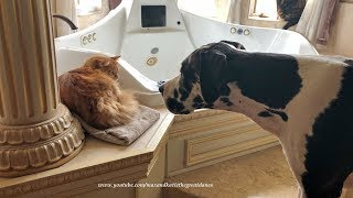 Funny Cat Teaches Great Dane Not To Bark At Him