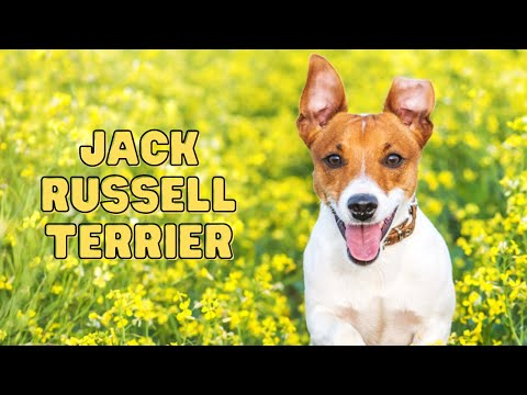 Jack Russell Terrier - Top 10 Fun Facts   Dog Breed Information
