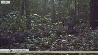 Camera Trap TV (CTTV) Series 1: Collared Peccary