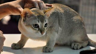Сингапурская кошка, Сингапура, Породы кошек, описание, уход