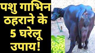 Gambar cover गाय भैंस गाभिन ठहराने के अचूक देसी उपाय|cow Buffalo pregnancy problems homemade solutions