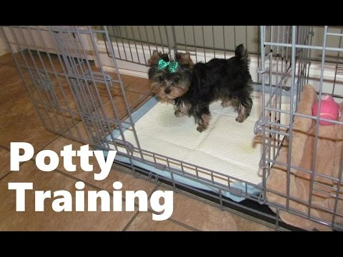 how-to-potty-train-a-yorkshire-terrier-puppy---house-training-yorkshire-terrier-puppies-fast-&-easy