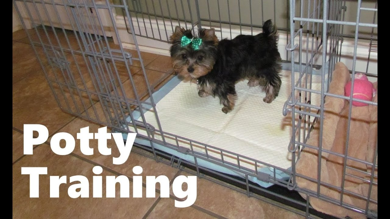 How long does it take to housebreak a yorkie puppy house for Dog potty training problems