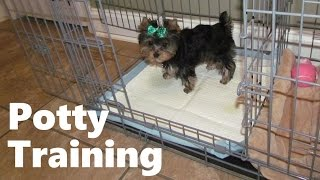 How To Potty Train A Yorkshire Terrier Puppy - House Training Yorkshire Terrier Puppies Fast & Easy