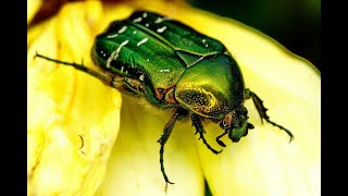 ЖУК ЗОЛОТИСТАЯ  БРОНЗОВКА Вредители сада.(ЖУК ЗОЛОТИСТАЯ БРОНЗОВКА ВРЕДИТЕЛИ САДА Огромный Жук Бронзовка-блестящий зеленый жук с медно-золотистым..., 2015-01-31T13:07:49.000Z)