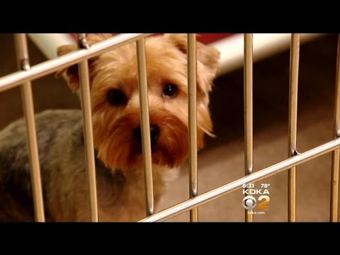 Resale Of Adopted Yorkie Worries Animal Rescue League