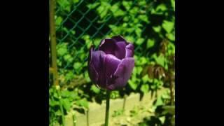 Gyözike-Lila tulipán