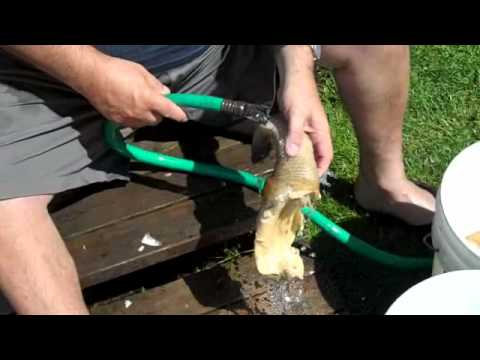 How to Clean a Geoduck Whidbey Is July 2010
