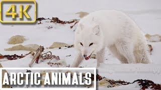 4K Pureness of Arctic Animals in Winter Storms: Nature Relaxation Therapy 4K