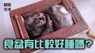 Hamster Life 倉鼠生活 20171019 食盆有比較好睡嗎? //三線鼠//楓葉鼠