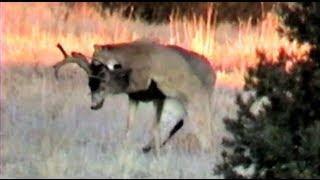 Cougar Attack !!! MuleyCrazy 6: Trophy Mule Deer Overdose