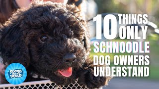 10 Things Only Schnoodle Dog Owners Understand | Poodle Mixes World