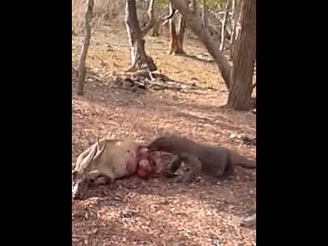 Komodo dragon eating a deer alive   Music Jinni