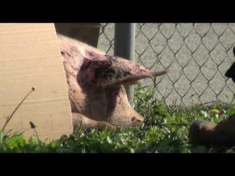 Pig Survivors Murdered outside Fearmans Slaughterhouse