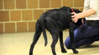 Chicago School Of Canine Massage: Trust Building - Macey