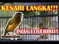 Masteran Kenari Gacor Isian Lovebird Speed Rapat Kenarigacor  Mp3 - Mp4 Download