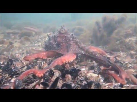 Maori Octopus Hunting