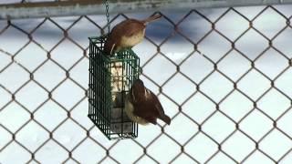 MVI 3954   2 Carolina Wrens on suet feeder