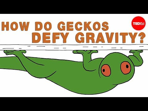 How do geckos defy gravity? - Eleanor Nelsen