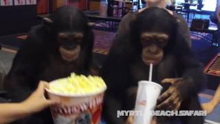 Chimpanzees Get Ready To Watch
