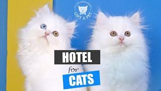 Persian Kittens For Sale in Islamabad, Pakistan.