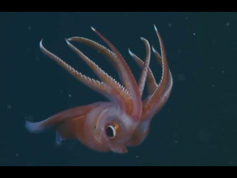 Die Verrücktesten Unterwasser-Tiere Der Tiefsee
