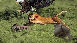 ライオン 狩猟 ワトグ, 象 大 クロコダイル, ヒョウ 大 アナコンダ, 虎 ...