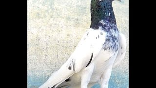 High And Low Flying Pakistani Indian Pigeons | Rampuri Pigeons Teddy Pigeon | Kabootar Video