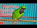Viral Jernih Masteran Cucak Ijo Isian Tembakan Jernih(.mp3 .mp4) Mp3 - Mp4 Download