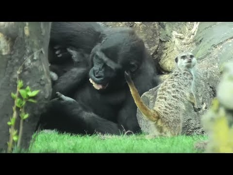 Meerkats fascinated by gorilla fight, try to get involved