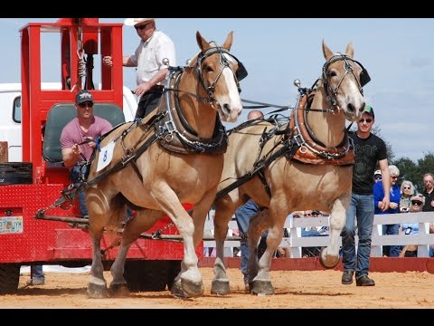 Gentle Giants - National Championship Draft Horse Pull