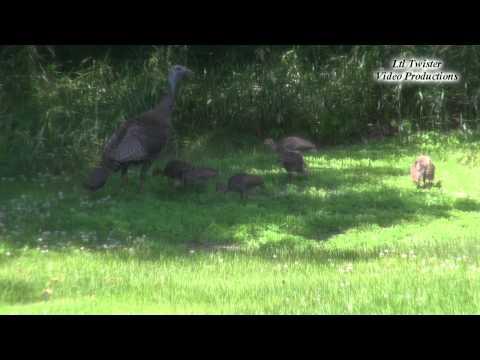 Minnesota Nature at its finest...Hen turkey & her brood