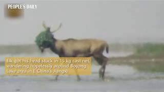 Workers saved an elk that got its head stuck in 15 kg cast net