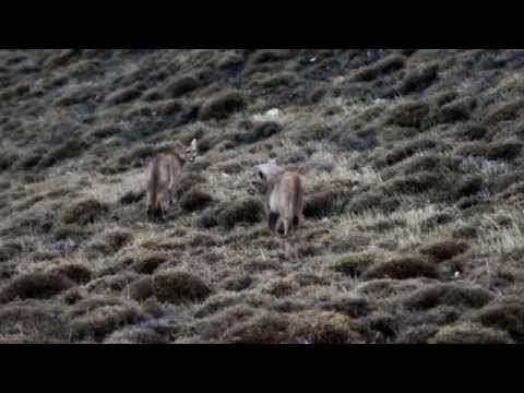 Meeting the puma - Wildlife Safari in Torres del Paine National Park, Patagonia