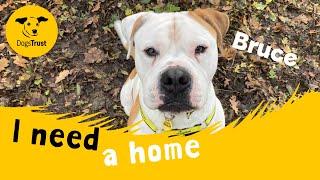 Bruce the sensitive American Bulldog | Dogs Trust West Calder