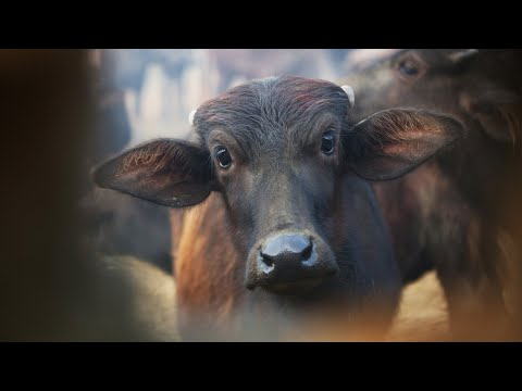 Warning Graphic Footage - Mass Beheading Of Animals At Nepal's Gadhimai Festival.