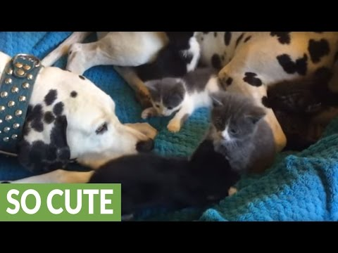 Foster kittens completely invade Dalmatian's bed