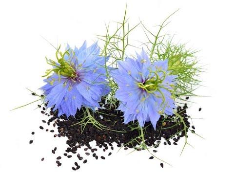 Семена черного тмина : необыкновенные свойства и применение