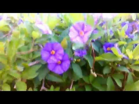 flores de solano azul
