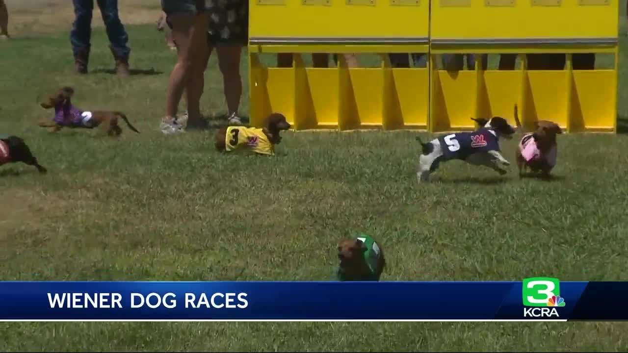 Wiener dog race at State Fair still has openings
