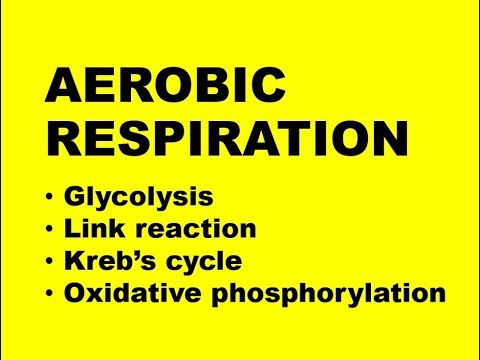 AEROBIC RESPIRATION + OXIDATIVE PHOSPHORYLATION (Exam 1)