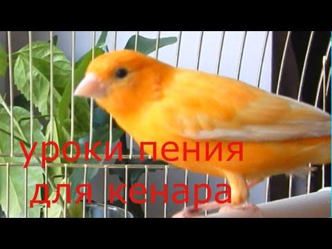 Пение канарейки  Урок для обучения Canary singing